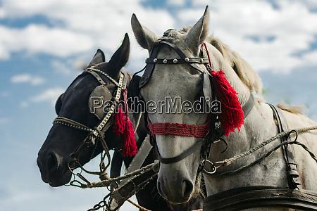 zwei kutschenpferde