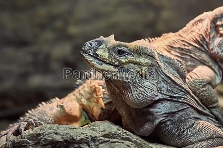 iguana ruhestaette