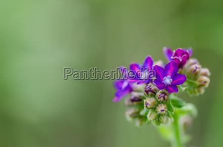 frische lila blume