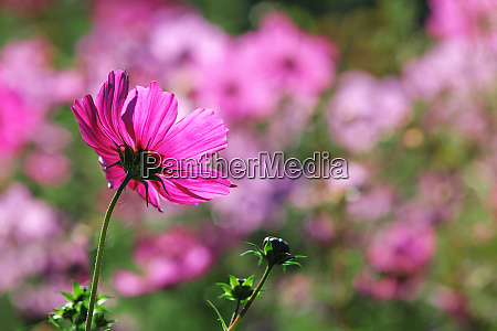 meadow with cosmos flowers
