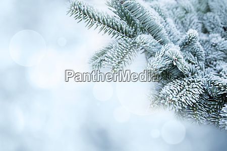 fir branches in frosty winter