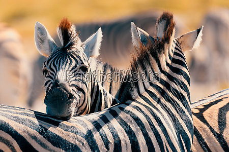 zebra im busch namibia afrika wildtiere