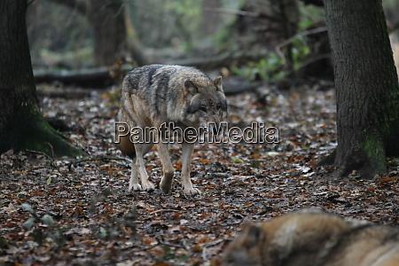 ein grauer wolf geht ueber den
