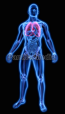 illuminated human lungs in blue anatomical