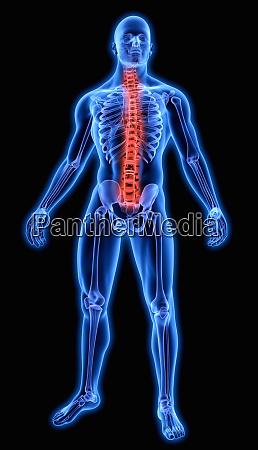 illuminated human spine in blue anatomical
