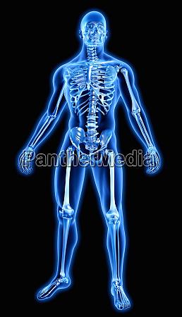 human bones in blue anatomical model