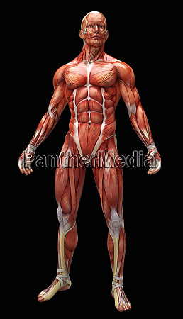 human muscles and tendons covering anatomical