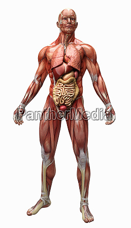 human muscles tendons and organs of
