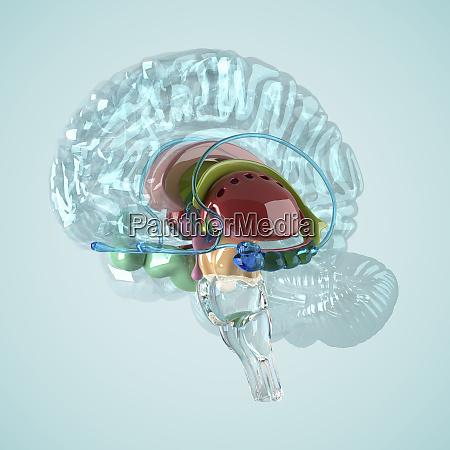 biomedical illustration of the human brain