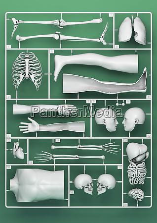 plastic model kit for male anatomy