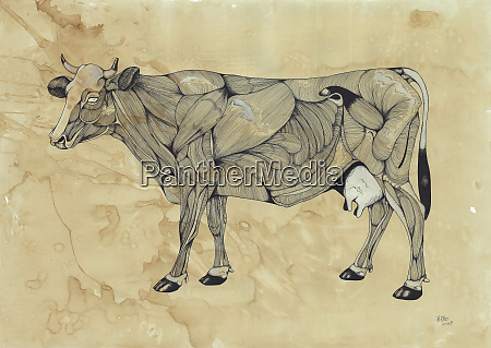 muscles on cow