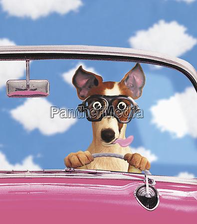 dog driving convertible car