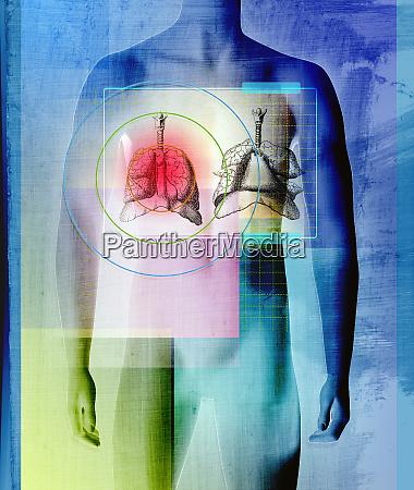 menschlicher koerper mit leber und lunge