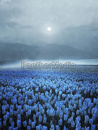 atmospheric field of blue tulips in