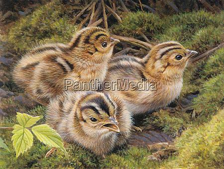drei fasanenkueken im gras