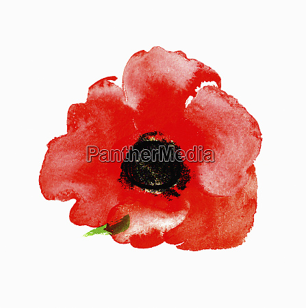 watercolour painting of red poppy
