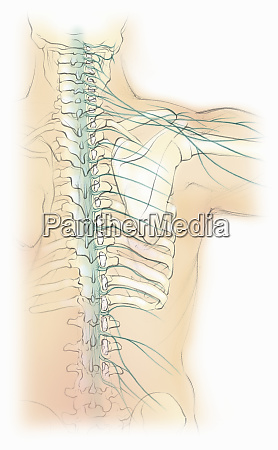 biomedical illustration of male spine with