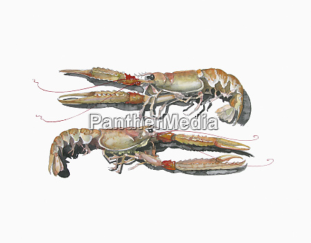 watercolor painting of two langoustine