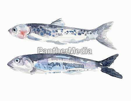 watercolor painting of two fresh anchovies