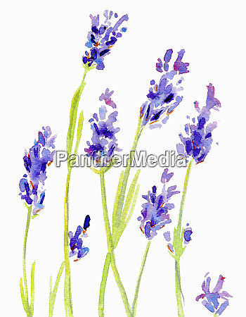 watercolor painting of lavender