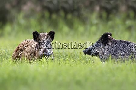 wildschweine, in, einer, lichtung - 26023874