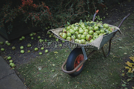 fresh green apples in a wheelbarrow
