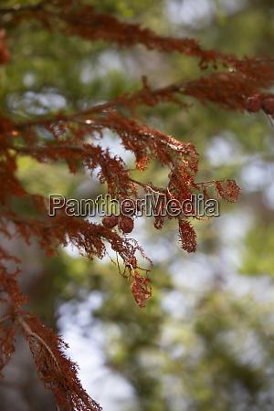 cupress tree