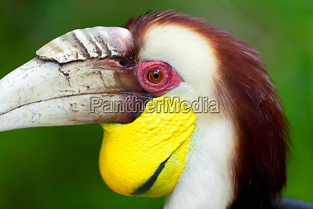 rhyticeros undulatus hornvogel