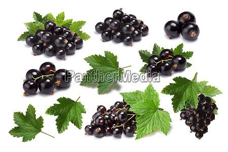set of blackcurrant berries ribes nigrum