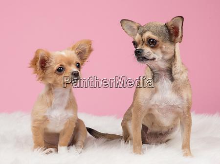 zwei niedliche chihuahua hunde an rosa