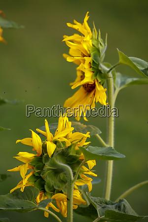 sonnenblumen auf der wiese in lettland