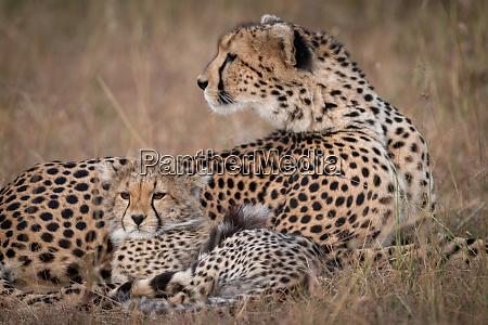 close up of cheetah looking back