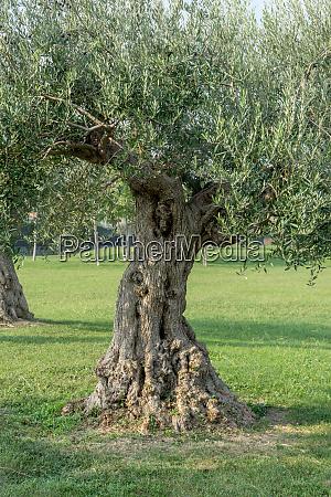 knotty olive tree