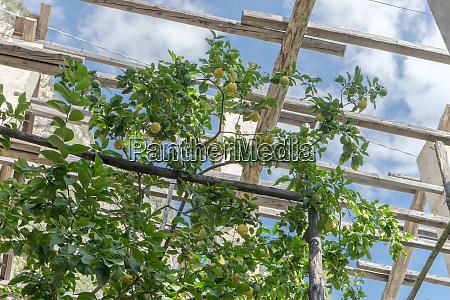 lemon tree in a lemon greenhouse