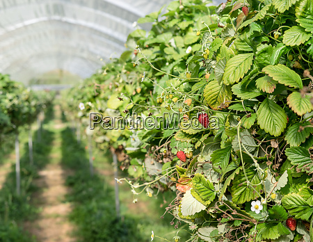rows of wild strawberries