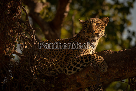 close up of leopard on branch