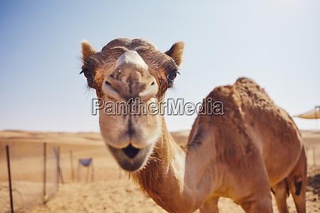kurioses kamel in der wueste