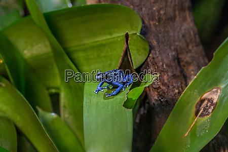 blauer gift dart frosch dendrobates