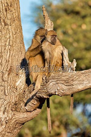 affe chacma baboon namibia afrika safari