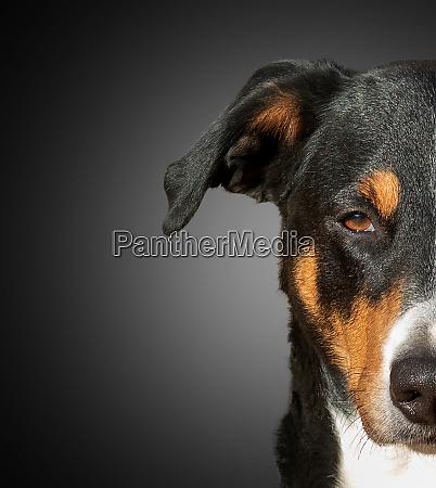 halbe schnauze eines appenzeller hundes
