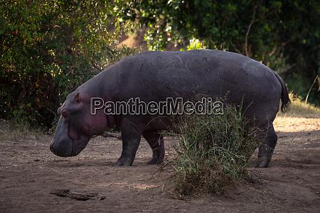 hippo steht in der naehe von