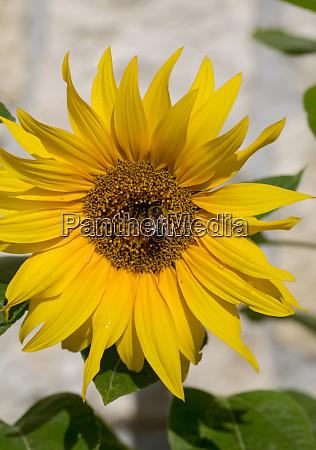bluehende sonnenblumen vor dem hintergrund einer