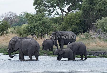 elephant group taking bath and drinking