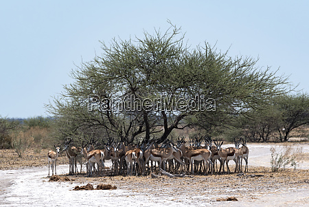 herd of impala in the shade
