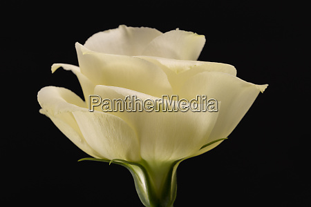 single flower head of yellow rose