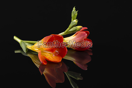 flowers of beautiful red freesia isolated