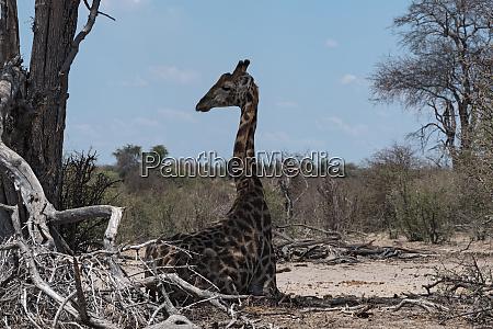 sitting giraffe in the makgadikgadi national