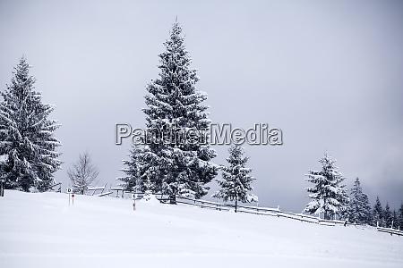 snowy fir trees