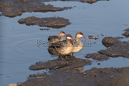red billed teals sitting on a