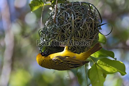 maennlich afrikanischemasken weber gebaeude nest gelb